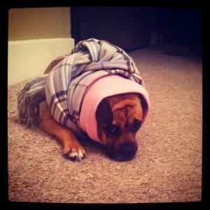 sheba wrapped in blanket